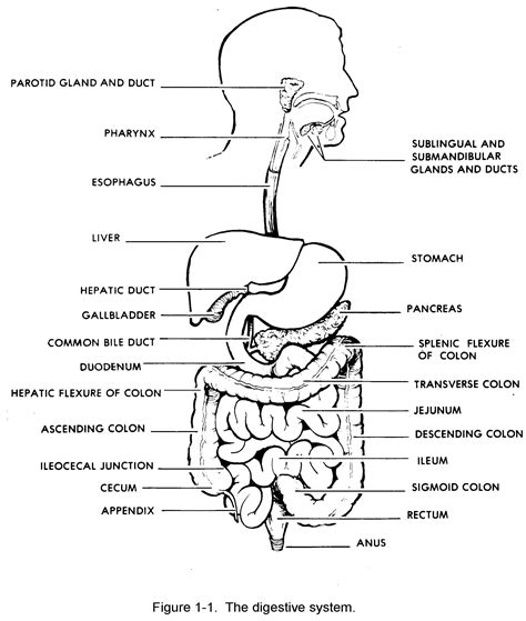 Digestive System Diagram Black And White Unlabelled