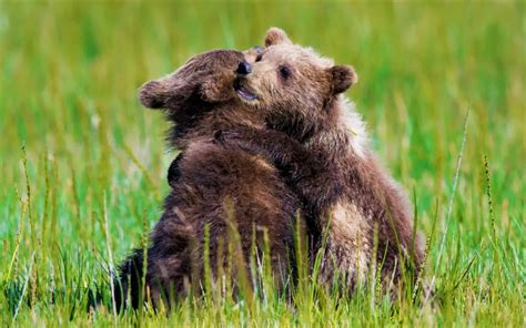 Animal Baby Animal Bear Cub Cute Hug Love Wallpaper