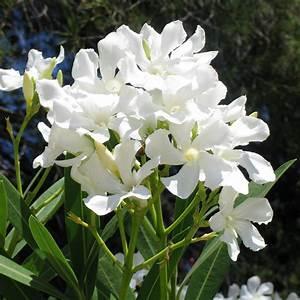 Oleander Winterhart Kaufen : wei er oleander xl qualit t online kaufen bei g rtner p tschke ~ Eleganceandgraceweddings.com Haus und Dekorationen
