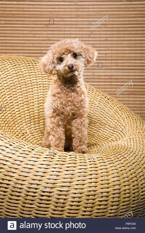 poodle colors apricot poodle colors apricot huxtable the poodle poodle parti