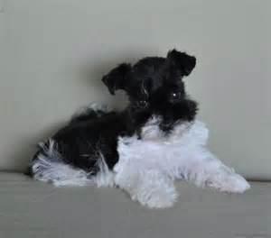 Black and White Schnauzer Puppies