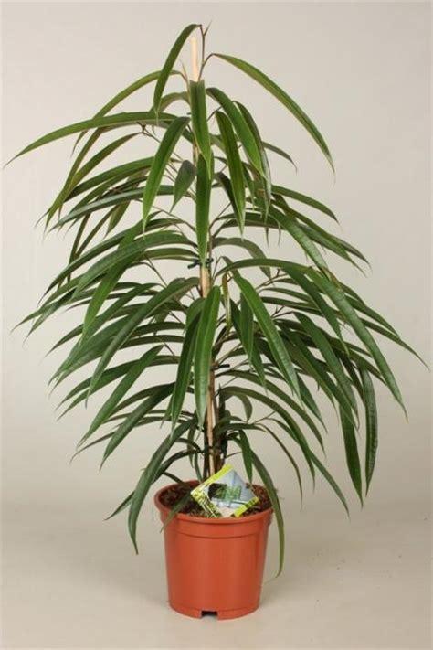 FICUS BINNENDIJKII ALII   Netplant; We export plants to ...