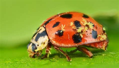 parasitic fungi attack lots   bugs futurity