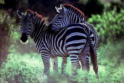Zebra Animal Wallpapers Zebras Background Animals Wall