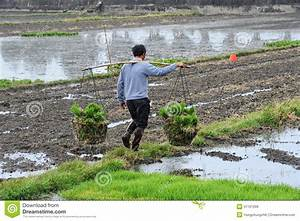 Unidentified Chinese Farmers Work Rice Field Editorial ...