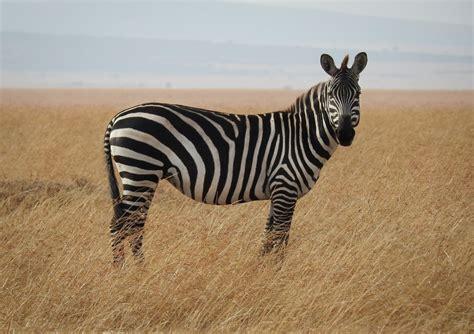 zebra  savanna photo  animal image  unsplash