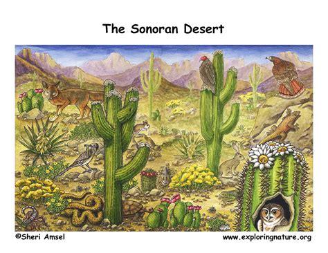 cuisines habitat sonoran desert plants and animals pixshark com