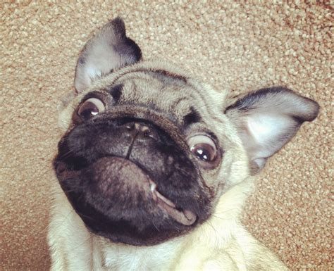 Funny Pug Puppies