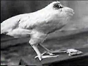 Headless Chicken Lives - YouTube