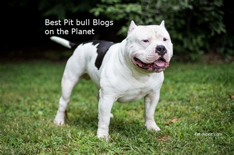 Best Pit by Top 30 Pit Bull Blogs And Websites For Pitbull