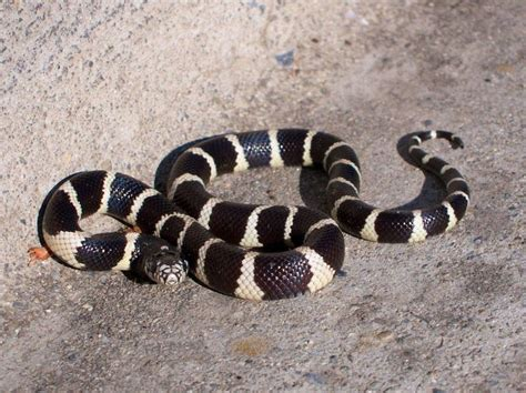 snakes as pets king snakes and milk snakes as pets animals pinterest