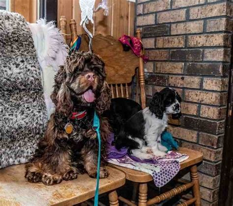 Welcome ida (chinese name da xia) to lucky dog rescue. Parti Color Cocker Spaniels - Puppies For Sale at Penny Lane Cocker Spaniels