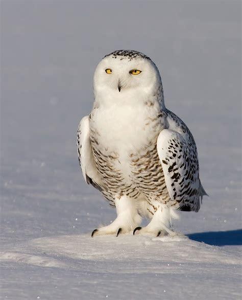 amazing animals pictures  snowy owl