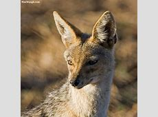 2016 Calendars Wild Canids and Hyaenids Max Waugh