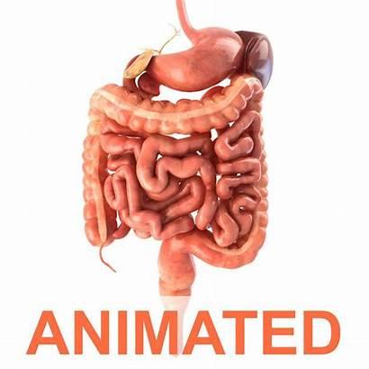 Digestive System Animated Human Animation Anatomy Models