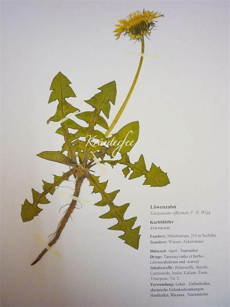 kraeuterfee herbarbeleg herbarium vorlage loewenzahn