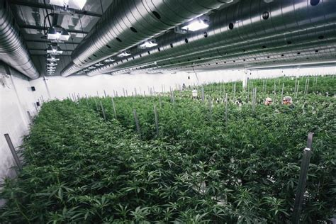 canap tweed constellation hedges bets on pot boom with canopy stake
