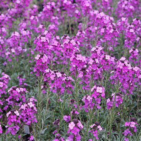 wallflower mauve erysimum bowles plants drought tolerant crocus garden low maintenance sun