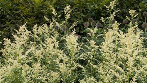 Pienziedu vībotne (artemisia lactiflora)