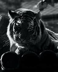Black N White Tiger