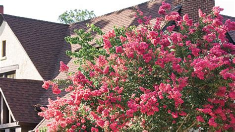 complete guide  crepe myrtle trees southern living