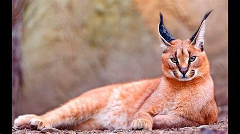 Rarest Wild Cat in the World