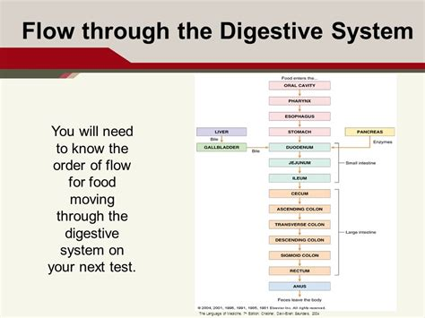 Digestive System (gastrointestinal) Flowchart Store Management System Flow Chart Sample Excel Software For Family Tree Business Of Cash Receipt Billing Banking Start And Stop