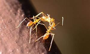 Yellow Crazy Ants Meet Their Match In Taskforce