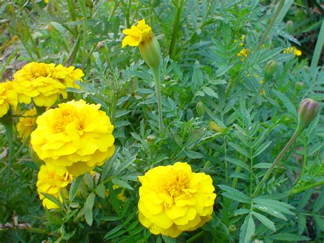 pictures of marigold flowers flower wallpaper free marigold flower wallpaper