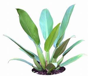 Tropical Plant Pictures: Philodendron
