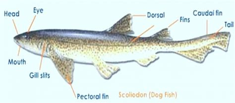 classificaton  pisces fishes