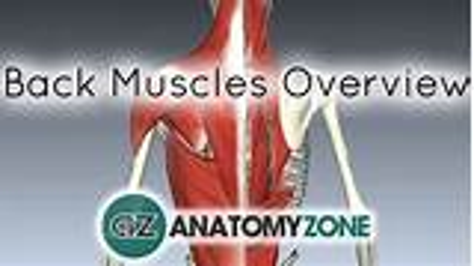 Back Muscles in a Nutshell • Musculoskeletal • AnatomyZone