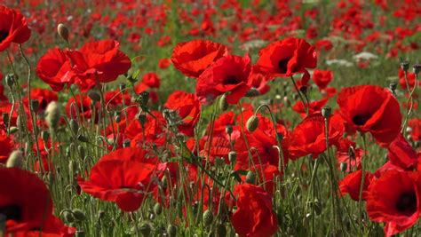 poppies meaning poppies definition meaning