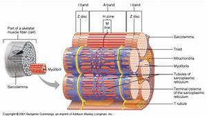 Muscles And Muscle Tissues Ch  9