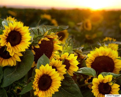 daily meditation sunflower sutra huffpost