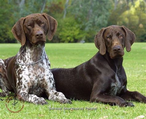 1000+ ideas about German Shorthaired Pointer on Pinterest