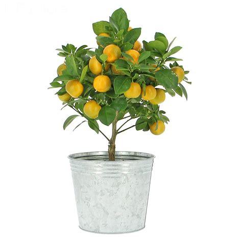 livraison oranger calamondin fruitier foliflora