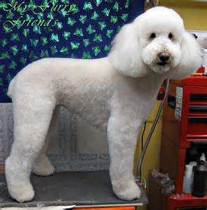 Goldendoodle with Poodle Cut