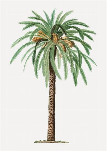 Palm Tree Date Vector Freepik Dates Clipart