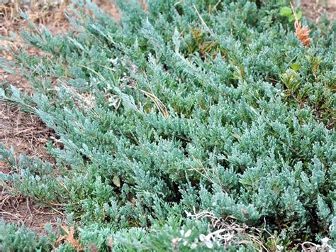 blue rug juniper for shrubs coniferous greens and gardens