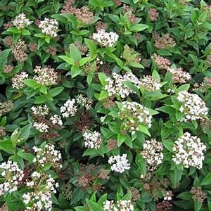 Laurier Tin : viburnum tinus eve price laurier tin floraison blanche ~ Mglfilm.com Idées de Décoration