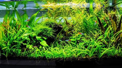 Planted Aquascape by How To Aquascape A Low Tech Planted Aquarium Part 3