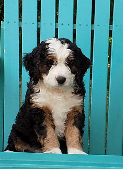 breeding beautiful tri color miniature  standard   fb bernedoodles happily