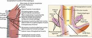 Anatomy Of Esophagus Longitudinal Muscle  Les  Lower