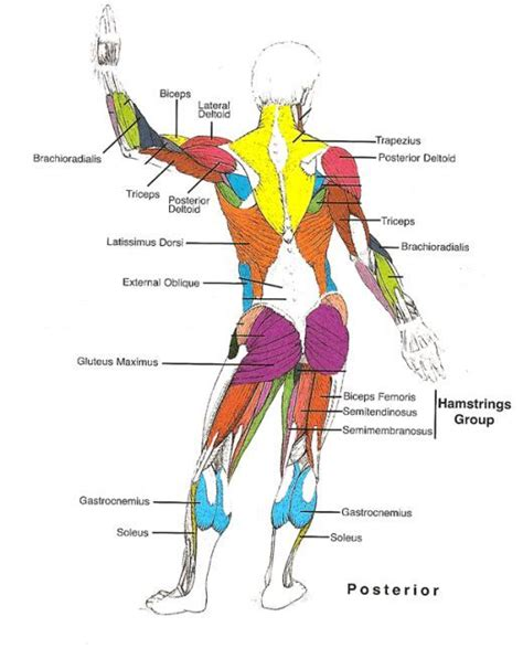 Labeled muscle diagram chart free download. Muscles Diagrams: Diagram of muscles and anatomy charts ...