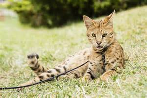 how much are cats most expensive cat breeds in the world fetch pet care