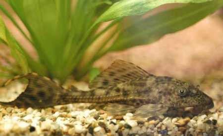 algae eaters  freshwater aquariums