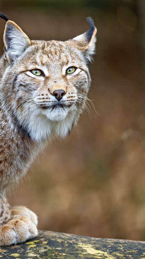 wallpaper lynx worlds dangerous animals predator