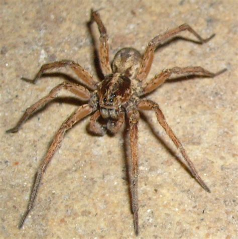 wolf spider spiders at spiderzrule the best site in the world about spiders redbacks huntsmen garden