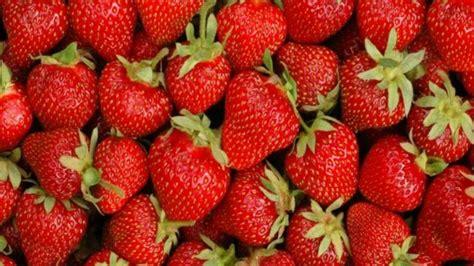 fraisier en pot conseil culture et plantation
